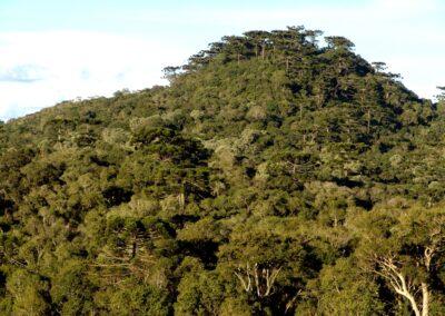 Floresta com Araucárias.
