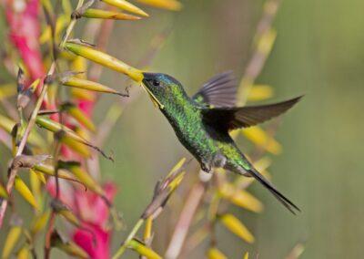 beija-flor-verde