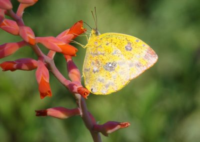 borboleta amarela na dickya